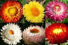Strawflower Everlasting Mix Helichrysum Bracteatum Straw Flower Dried 40 Seeds