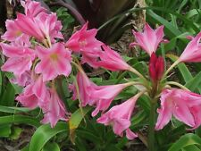 Crinum Lily, Carnival #02, jumbo, blooming-size bulb, NEW, stunning, RARE