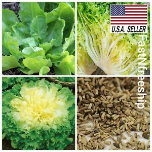Broadleaf Batavian Endive Chicory - 500 Seeds- Heirloom Non-GMO Vegetable USA !