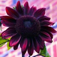 25 Chocolate Cherry Sunflower Seeds Flowers Seed Flower Perennial Sun Bloom 1065