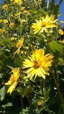 50 Samen Durchwachsene Silphie Becherpflanze Bienenweide Bienen Hecke Tracht