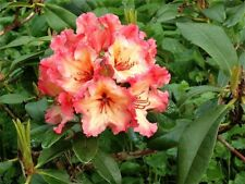 Rhododendron Fire Rim - #1 Container Plant - Hardy to 5 F - Orange Bloom