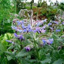 100 pcs flower Seeds Borage(Borago Officinalis)