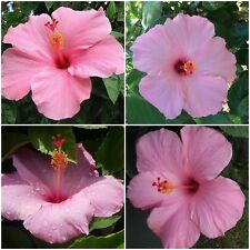 """2 TROPICAL SEMINOLE PINK HIBISCUS WELL ROOTED LIVE STARTER PLANT 4"""" TO 7"""" TALL"""