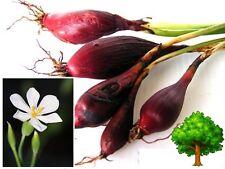 *UNCLE CHAN* 3 oz. DAYAK ONION BULB MALA-BAWANG Eleutherine palmifolia RED COLOR