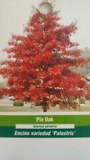 4'-5' Pin Oak Tree Live Healthy Shade Trees Home Garden Landscape Plant Plants