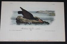 AUDUBON'S BIRDS of AMERICA - BACHMAN'S OYSTER CATCHER - First Edition Octavo#325