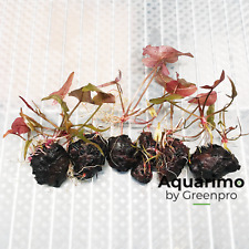 Nymphaea Rubra 6 Bulbs Tropical Freshwater Aquarium Live Plant Decoration Tank