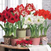 100Pcs Amaryllis Flower Seeds Hippeastrum Beautiful Plants Decor for Garden Home
