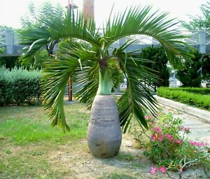 Bottle Palm   Hyophorbe lagenicaulis   10 Seeds   (Free Shipping)