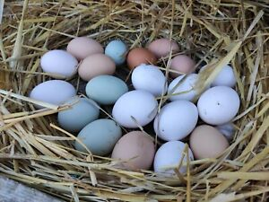 10 Stück Bruteier Hühner bunt gemischt. Grünleger Marans Blausperber.....