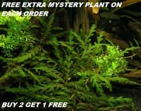 Hygrophila Pinnatifida Live Aquarium Plants Bunch planted tank  BUY 2 GET 1 FREE