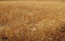 Soft Red Spring Wheat Non-GMO Cereal Grain Garden Crop - ½ Ounce (~450 Seeds)