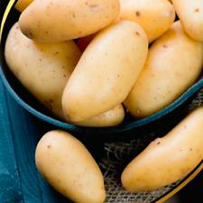 Potato TRIUMPH Seeds potatoes organic seeds Ukraine Seeds 0.02g Farmer's dream