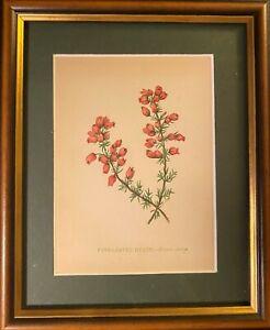 Victorian Floral Lithograph (Anne Pratt Wild Flowers 1852)