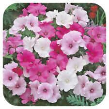 3 Lavatera Hybrida Mixed Tricolors' Tree mallow Hardy shrub 3 Jumbo plug plants