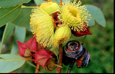 Eucalyptus pachyphylla GUM TREEin 50mm forestry tube native plant tree