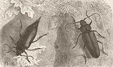 BEETLES. Prionus coriarius; Ergates faber 1896 old antique print picture