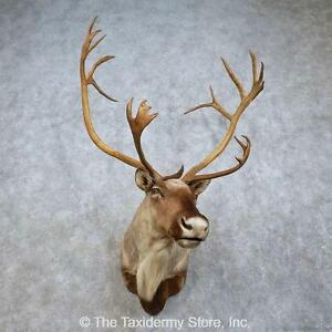 #15796 P | Barren Ground Caribou Taxidermy Shoulder Mount For Sale