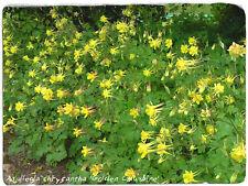 Aquilegia chrysantha 'Golden Columbine' [Wild form] 100 SEEDS