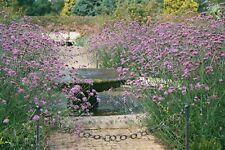 Verbena bonariensis flower 250 seeds