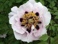 Peony Rock (Paeonia rockii) 7 seeds
