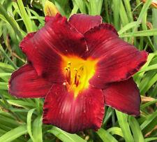 Daylily Mighty Mogul reblooming dark red hemerocallis Perennial ~ Df or 2 Plants