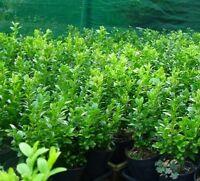 ENGLISH BOX 10 for $25 Garden Hedge Plant Border
