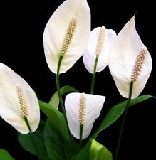 Temperate plant plugseedling house plants ebay 2 x peace lily spathiphyllum white flowers popular indoor plants in 60mm pots mightylinksfo