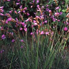 Dierama pulcherrimum 'Angel's Fishing Rods' 20 seeds