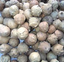 1 Lb (450 Grams) Manjakani / Oak Galls - FINFAST