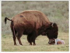 Postcard Newborn Bison Calf Still in Birthing Sac and Buffalo Mom