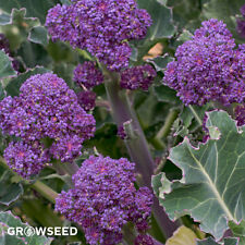 Early Purple Sprouting Broccoli - 800 Seeds SOW MARCH - JULY