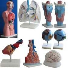 Anatomiemodell Lehrmodell Menschliches Lebensgroß Torso Beweglich Gehirn Lehre