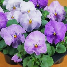 50 Pansy Seeds Character Clear Lavender FLOWER SEEDS