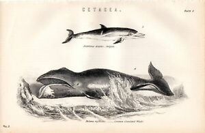 1880 PRINT WHALE COMMON GREENLAND ARCTIC ~ DOLPHIN