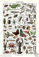 arthropods/insects/bugs/ poster/ Illustration/Animals/vintage repro. 13x19 inch