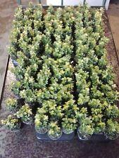 100 x Buxus Sempervirens Evergreen Box Hedging 9cm pot