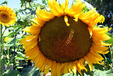 50 SUNFLOWER MAMMOTH Giant Seeds, Grow 12+ Ft, Helianthus annuus  + FREE GIFT*