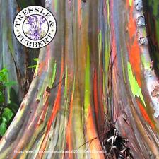 50 semi-UK STOCK Rainbow EUCALYPTUS-EUCALYPTUS DEGLUPTA