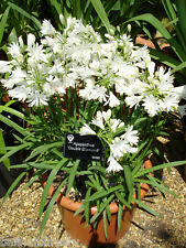 3 Agapanthus Double Diamond  double White flowers   garden perennial plant