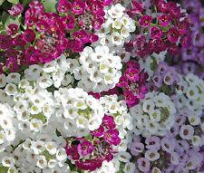 Alyssum Paletta Mix Lobularia Maritima - 100 Seeds
