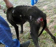 Can you please help Melina the Galgo -Spanish Greyhound at 112 Carlota Galgos?