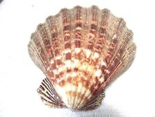 Large Lions Paw Scallop Sea Shell 5 1/2 Inches