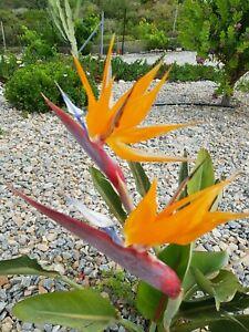 Strelitzie reginae - Paradiesvogelblume - Pflanze blühfähig - 50 cm