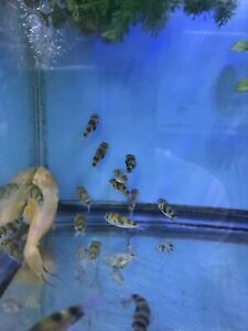 1.3 Inches Amazon Puffer (Colomesus Asellus) Freshwater Live Fish