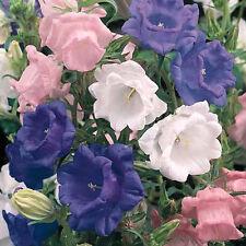 50+ CAMPANULA CANTERBURY BELLS MIX DOUBLE FLOWER SEEDS PERENNIAL/RABBIT RESIST.