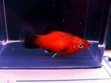 Red Wag Platy (Lot of 6)
