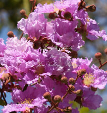 20 Seeds Lagerstroemia speciosa Brilliant Pink Blooms Banaba Crape Myrtle