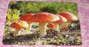 SWEDEN MUSHROOM POSTCARD POISONOUS MUSHROOMS GROWING IN NATURE